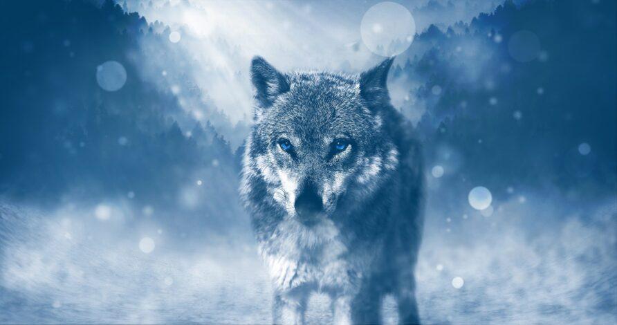 Надежда или отчаяние: какой волк выживет?